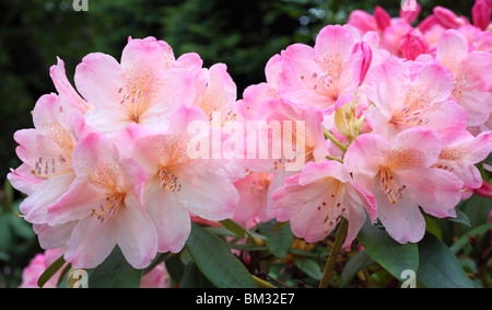 Pink spring rhododendron blossom - Stock Photo