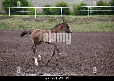 Foal running and playing on race course - Stock Photo