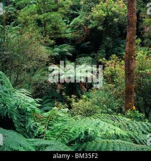 Rain forest next to Erskine waterfall, Lorne, Great Otway National Park, Australia - Stock Photo