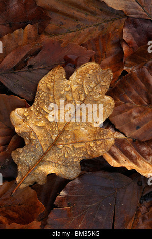 Rain droplets on autumnal oak leaf, Netherlands. - Stock Photo