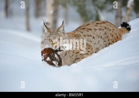 European Lynx (Felis lynx, Lynx lynx). Adult male with Ptarmigan in winter forest, Norway. - Stock Photo