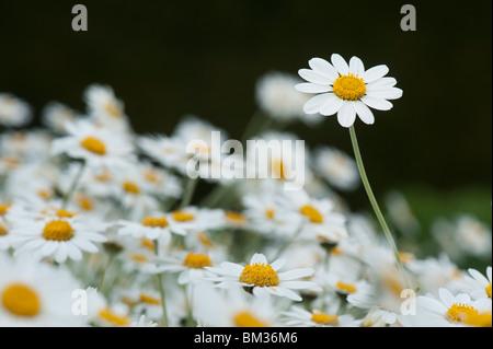 Anthemis Punctata Cupaniana, Sicilian chamomile flowers - Stock Photo