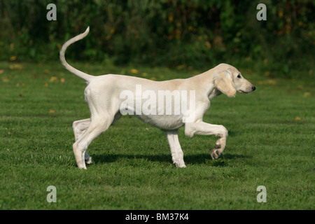Salukiwelpe in Bewegung / saluki puppy in action - Stock Photo
