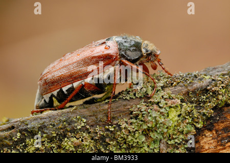 Common Cockchafer, Maybug (Melolontha melolontha). Adult crawling on old log in oak forest. - Stock Photo