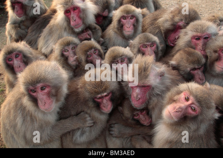 Japanese macaque (Macaca fuscata) huddled together - Stock Photo