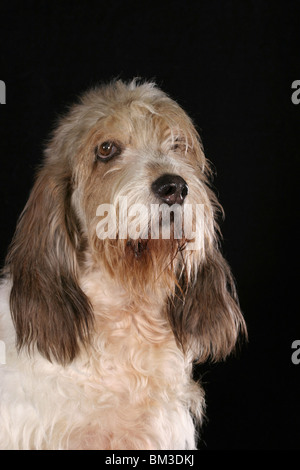 Grand Basset Griffon Vendeen Portrait - Stock Photo