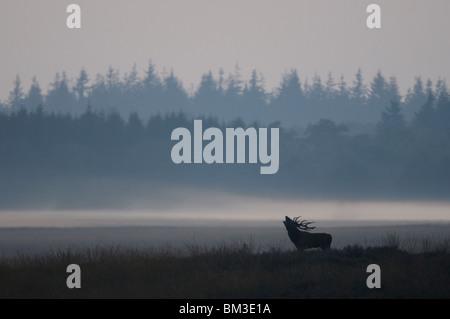 Red Deer (Cervus elaphus). Stag roaring during the rut, Netherlands - Stock Photo