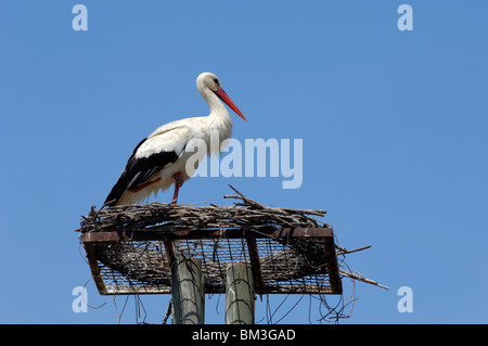 White Stork, Ciconia ciconia, Standing on Man-made or Artificial Breeding or Nesting Platform Camargue France - Stock Photo