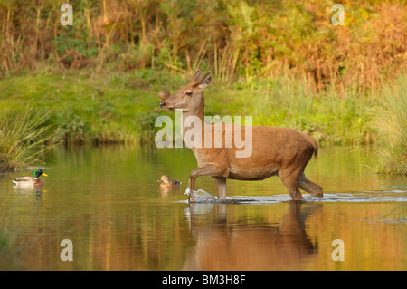 Red Deer (Cervus elaphus). Hind in autumnal rut crossing a small river, Leicestershire, UK. - Stock Photo