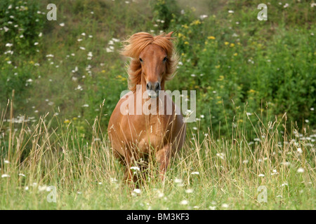 Islandpony auf der Weide / running horse - Stock Photo