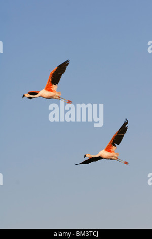 Chilean Flamingos (Phoenicopterus chilensis) in flight, Chile - Stock Photo