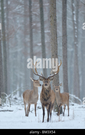Red Deer (Cervus elaphus). Stag, hind and calf in falling snow during winter, Netherlands. - Stock Photo