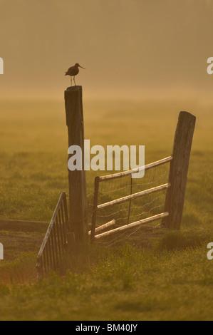 Black-tailed Godwit (Limosa limosa), male standing on a gate post, Netherlands. - Stock Photo