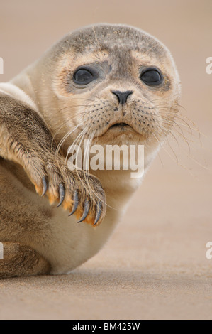 Common Seal (Phoca vitulina). Pup on a remote beach, Donna Nook, UK. - Stock Photo