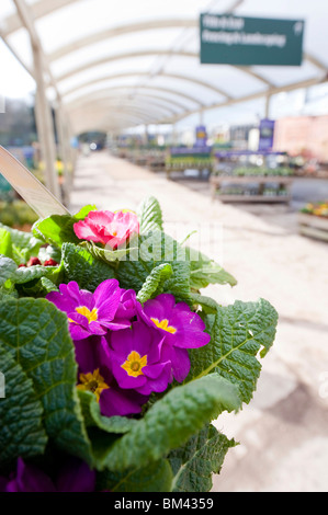 Pansies in a basket at a garden centre in East Sussex UK. - Stock Photo
