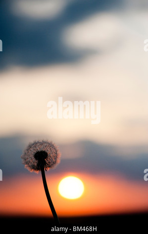 Dandelion seed head at sunset. Silhouette - Stock Photo