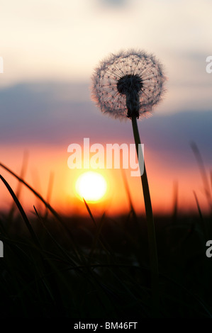 Dandelion seed head silhouette at sunset - Stock Photo