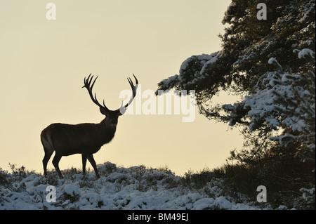 Red Deer (Cervus elaphus). Alert male in snow covered heathland. - Stock Photo