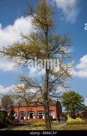 Ginko Biloba Maidenhair Tree, Botanic Gardens Museum Botanic Road Churchtown Southport Merseyside - Stock Photo