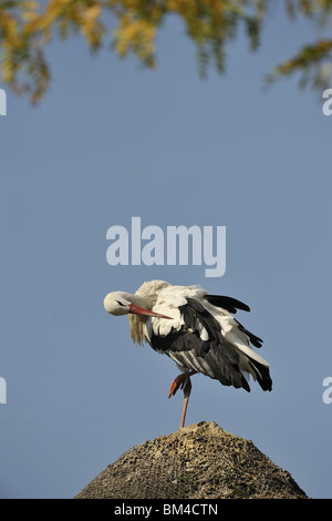 White stork (Ciconia ciconia) preening on a roof Belgium - Stock Photo