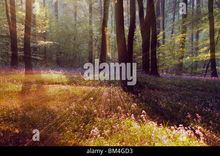 Impressions of the classic bluebell wood in the Forest of Dean, Gloucestershire, England - Stock Photo