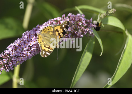 Painted Lady butterfly gathering nectar from flower of butterfly bush - Stock Photo