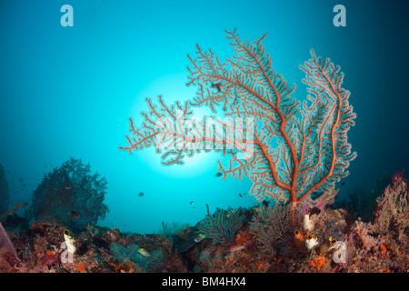 Sea Fan in Coral Reef, Raja Ampat, West Papua, Indonesia - Stock Photo