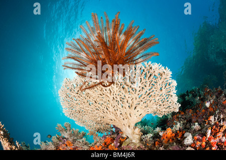 Crinoid on small Table Coral, Comanthina sp., Raja Ampat, West Papua, Indonesia - Stock Photo