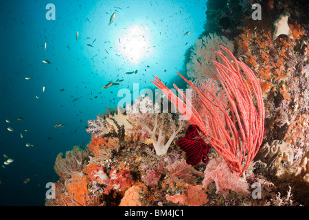 Colorful Coral Reef, Raja Ampat, West Papua, Indonesia - Stock Photo