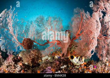 Seafan in Coral Reef, Melithaea sp., Raja Ampat, West Papua, Indonesia - Stock Photo