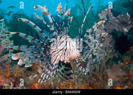 Lionfish, Pterois volitans, Raja Ampat, West Papua, Indonesia - Stock Photo