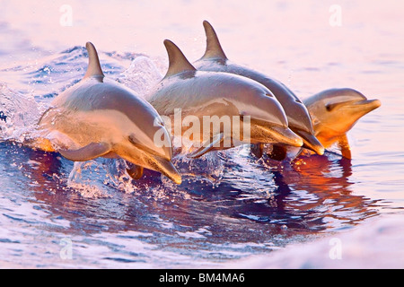 Pantropical Spotted Dolphin, Stenella attenuata, Pacific Ocean, Hawaii, USA - Stock Photo
