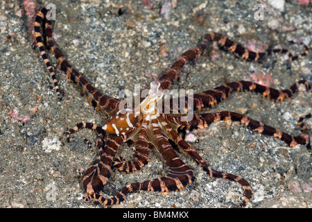 Wonderpus Octopus, Wunderpus photogenicus, Lembeh Strait, North Sulawesi, Indonesia - Stock Photo