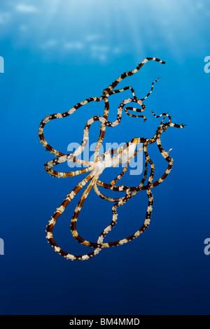 Wonderpus Octopus, Wunderpus photogenicus, Lembeh Strait, North Sulawesi, Indonesia - Stock Photo