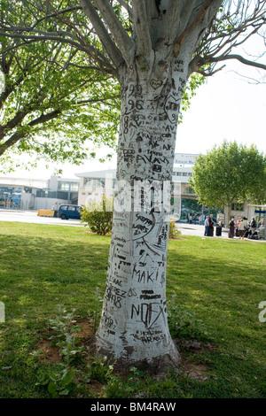A mutilated tree by knife engravings in Palma de Majorca (Spain). Arbre mutilé par des inscriptions au couteau à - Stock Photo