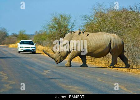 White Rinoceros crossing Street, Ceratotherium simum, Kruger Nationalpark, South Africa - Stock Photo