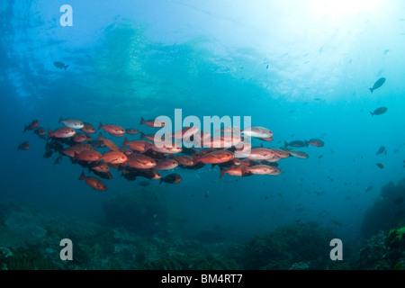 Shoal of Red Snapper, Lutjanus campechanus, Raja Ampat, West Papua, Indonesia - Stock Photo