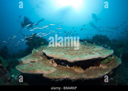 Scuba diver over Lobe Stone Coral, Porites sp., Raja Ampat, West Papua, Indonesia - Stock Photo