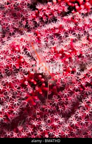 Comensal Shrimp on Sea Fan, Periclimenes psamathe, Raja Ampat, West Papua, Indonesia - Stock Photo