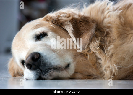 Older female Golden Retriever dog sleeping on a vinyl kitchen floor. - Stock Photo