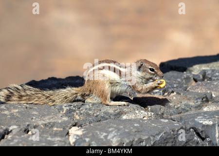 A Barbary Ground Squirrel (Atlantoxerus Getulus) near Betancuria on the Canary Island of Fuerteventura - Stock Photo