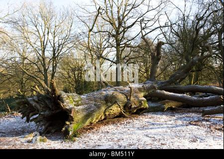 Uprooted tree on Hampstead Heath in winter, London, England, UK - Stock Photo