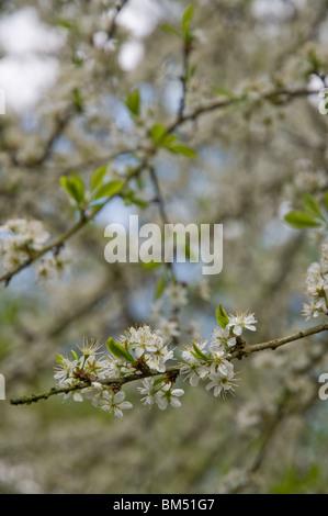 Apple Blossoms, Whippendell Woods, Hertfordshire, UK - Stock Photo