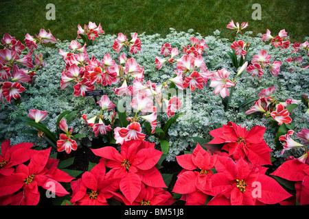 Poinsettia and Amaryllis (Hippeastrum, Intokazi) Longwood Gardens, former Du Pont estate, Kennett Square, Pennsylvania, - Stock Photo