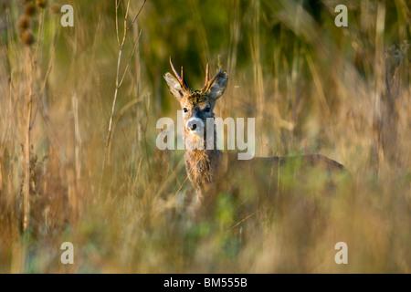Roe Buck in morning sun - Stock Photo