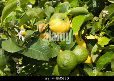 Lemons blossoming on tree in Sicily - Stock Photo