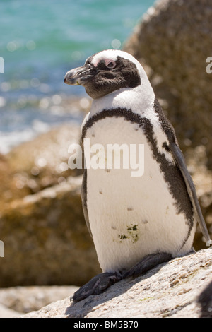 Black footed penguin, South Africa / Spheniscus demersus - Stock Photo
