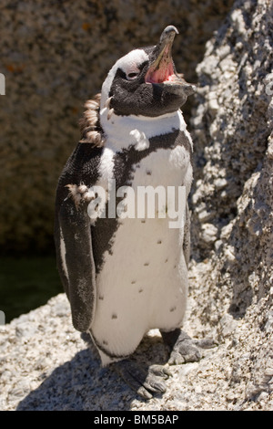 Young Black footed penguin on Boulders Beach, South Africa / Spheniscus demersus - Stock Photo