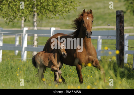 Paso Fino (Equus ferus caballus). Mare with foal in a gallop over a meadow. - Stock Photo