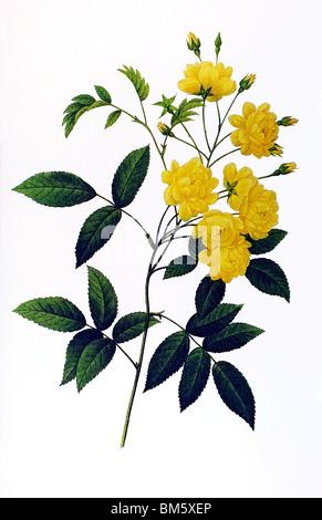 Lady Banks Rose yellow - Stock Photo